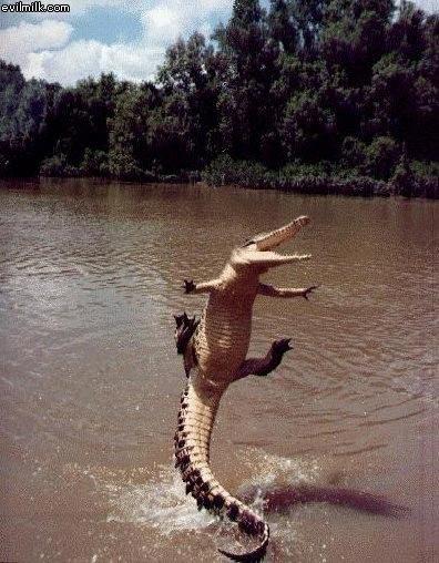 jumping-alligator